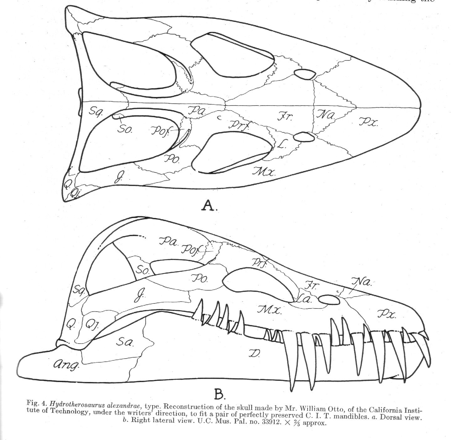 Antediluvian Salad Plesiosaur Machinations I Introducing The Snake Skeleton Diagram Images Pictures Becuo Now Even Just Looking At These Skulls And Giving Them Eye Test It Is Readily Observable That There Are Some Differences Hydrotherosaurus Skull