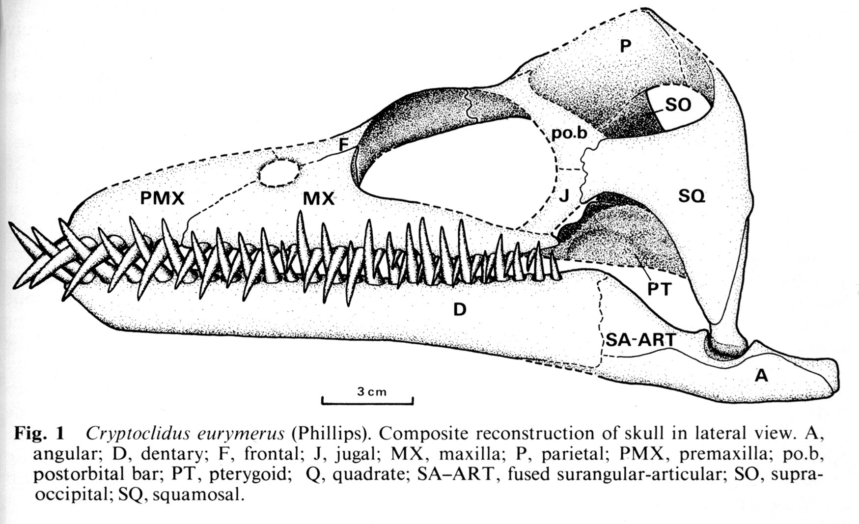 The Plesiosaur Directory Images Line Drawings