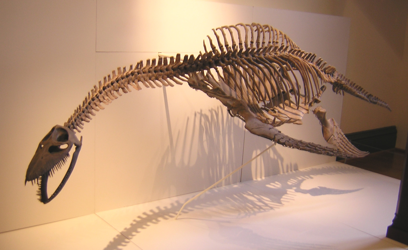 Image result for mauisaurus skeleton